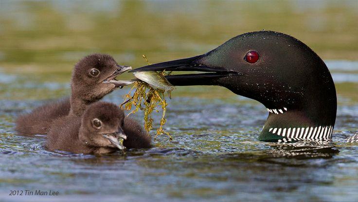 Loons Feeding Chick by Tin Man, via 500px: Animal Behaviour, Animalpet Lovers, Tins Man, Loon Feeding, Man Photography, Water Birds, Animal Pet, Animal Communiat, Feeding Chick