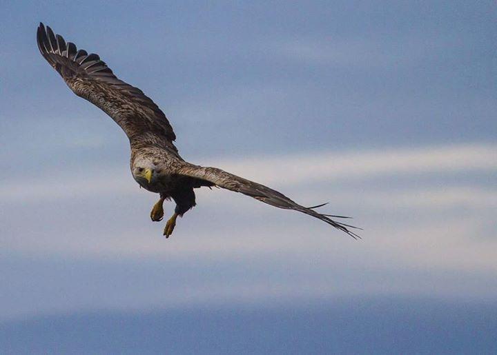 Tolle Aufnahme eines Seeadlers in Nordnorwegen. Demnächst bietet Whalesafari Andenes auch Vogelbeobachtungen an Land an - sowohl auf Andøya (Vesterålen) als auch auf der Insel Røst.  Foto: Whalesafari Andenes