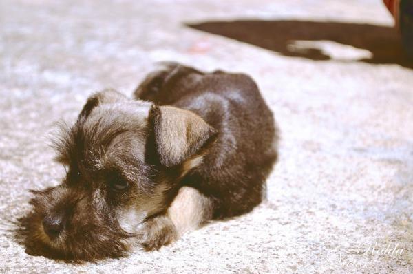 Dieta caseira para a insuficiência renal do cachorro - PeritoAnimal