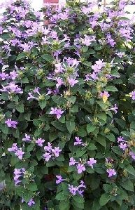 Philippine Violet | Florida max height 4-6ft thick hedge ...