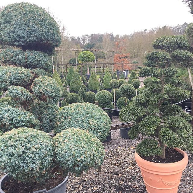 #cloud #topiary #juniper #ilex #bonsai #crowntopiary