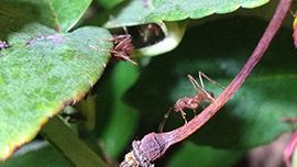 Animal Planet LIVE Leafcutter Ant Cam @ Audubon Butterfly Garden and Insectarium in New Orleans, Louisiana, USA.