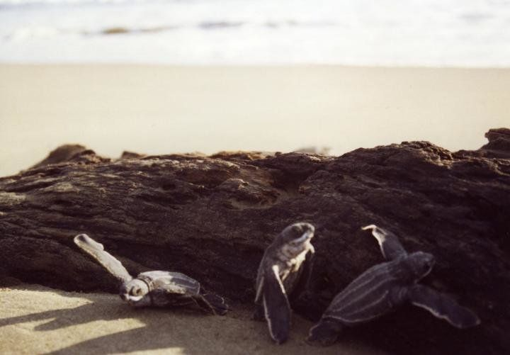 Debris from logging in tropical forests is threatening the survival of hatchling leatherback turtles and the success of mothers at one of the world's most important nesting sites in Colombia, report investigators.