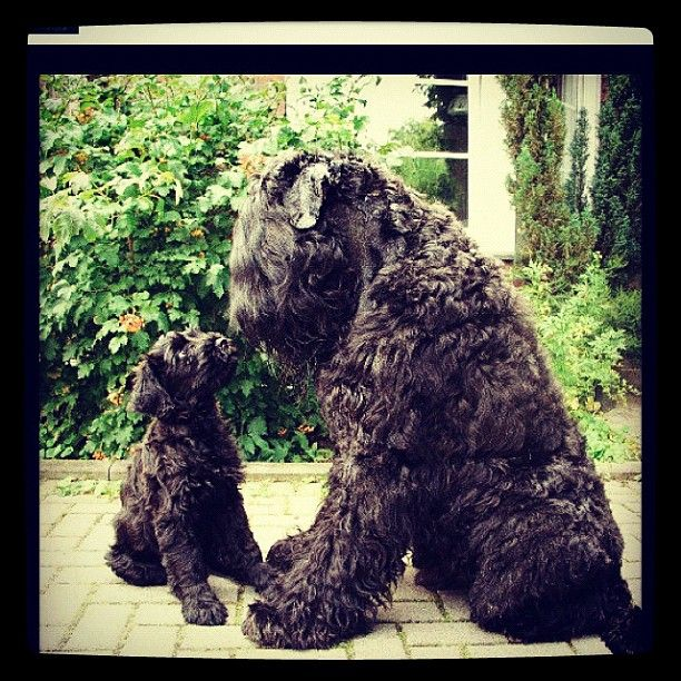 How could I not repin this!! Black Russian Terrier.  I can't wait til i get my BRT!