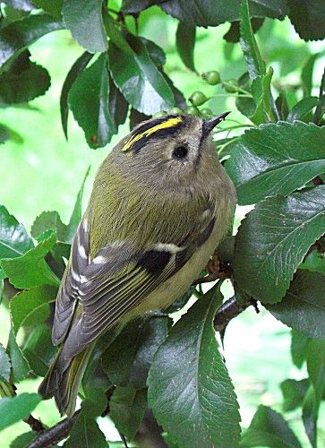 Goldcrest--The song of the male Goldcrest is a very high, thin double note cedar, repeated 5–7 times and ending in a flourish, cedarcedar-cedar-cedar-cedar-stichi-see-pee.