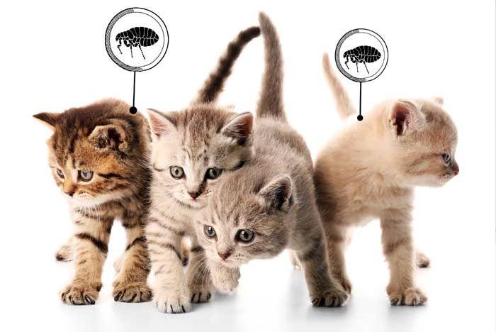 como eliminar parasitos de los gatos
