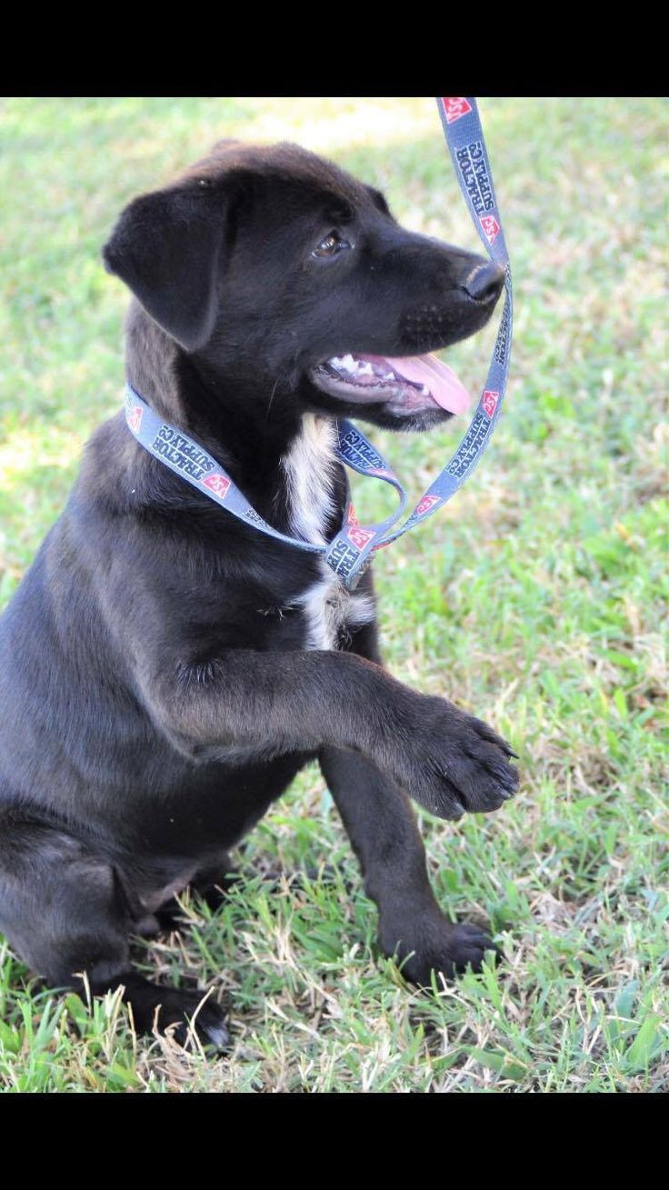Bonnie is an adoptable Labrador Retriever searching for a forever family near Northwood, NH. Use Petfinder to find adoptable pets in your area.