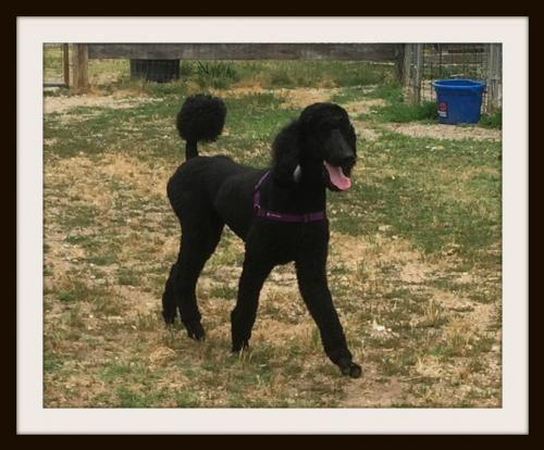 Meet Tango Of Raleigh A Petfinder Adoptable Standard Poodle Dog