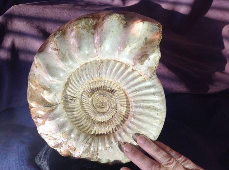 Ammonite. (Perisphinctes) | Fleaglass Antiques For Sale - Large Ammonite