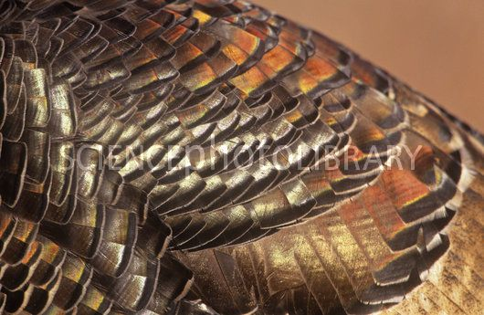 north America bird feathers | Close-up of Wild Turkey feathers