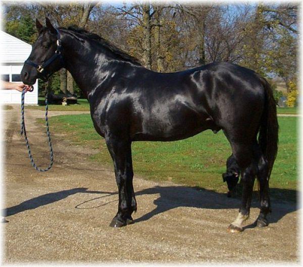 170 best images about black horses on Pinterest   Barrel ...