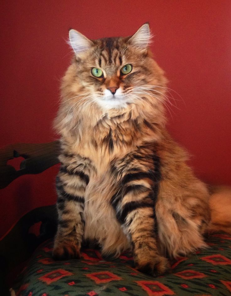 Sunny, our Siberian cat.