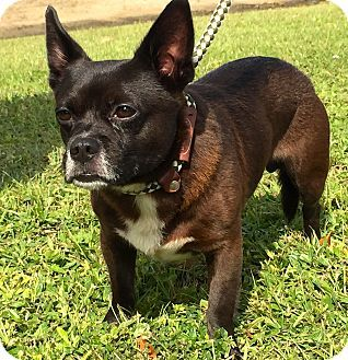 Ft Myers Beach, FL - French Bulldog/Chihuahua Mix. Meet Funny looking Boy!!!, a dog for adoption. http://www.adoptapet.com/pet/16916578-ft-myers-beach-florida-french-bulldog-mix