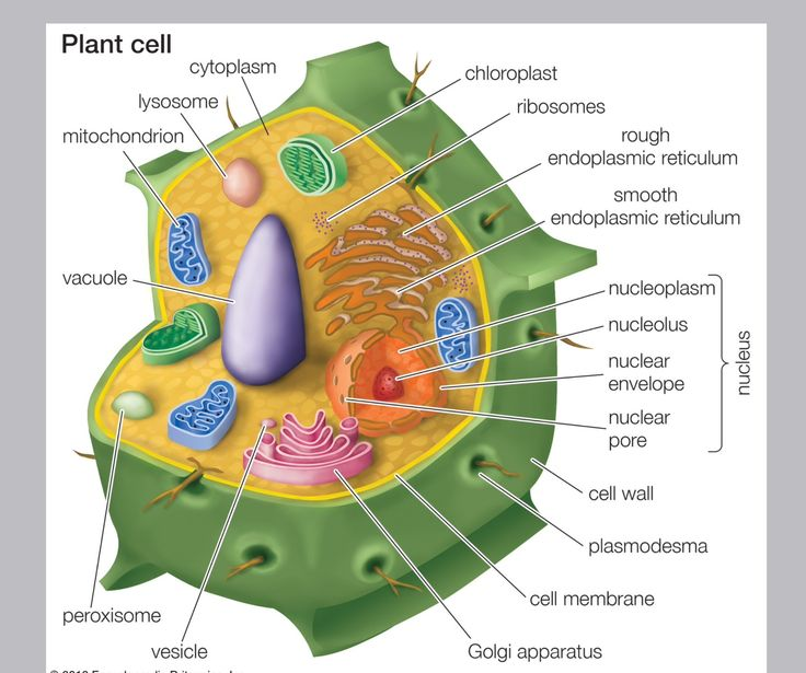 12 best images about bio mlcak ale cell structure and ...