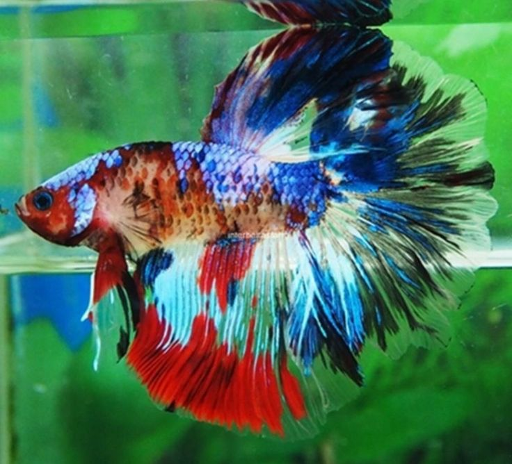 25 best ideas about betta on pinterest betta fish for Ebay betta fish