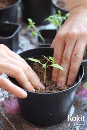Kokit ja Potit -ruokablogi: Tomaatin kasvatus - taimien koulinta ja lannoitus