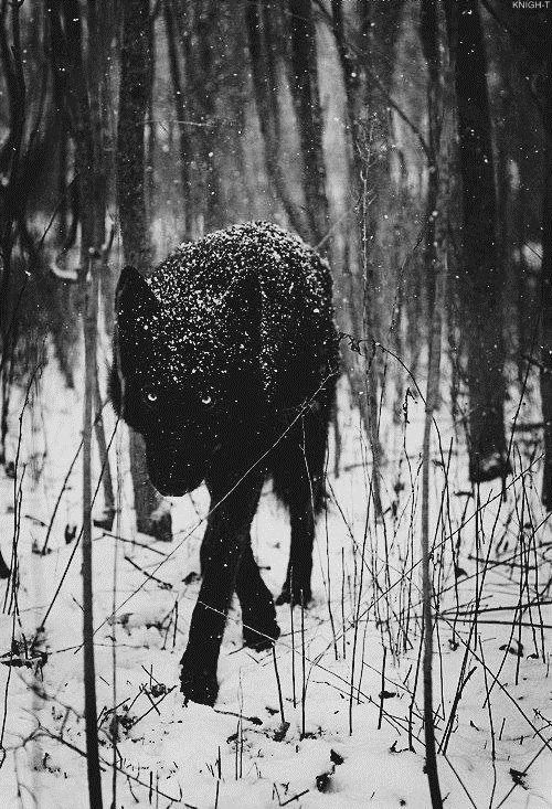 Black Wolf in Snow -- Black in white