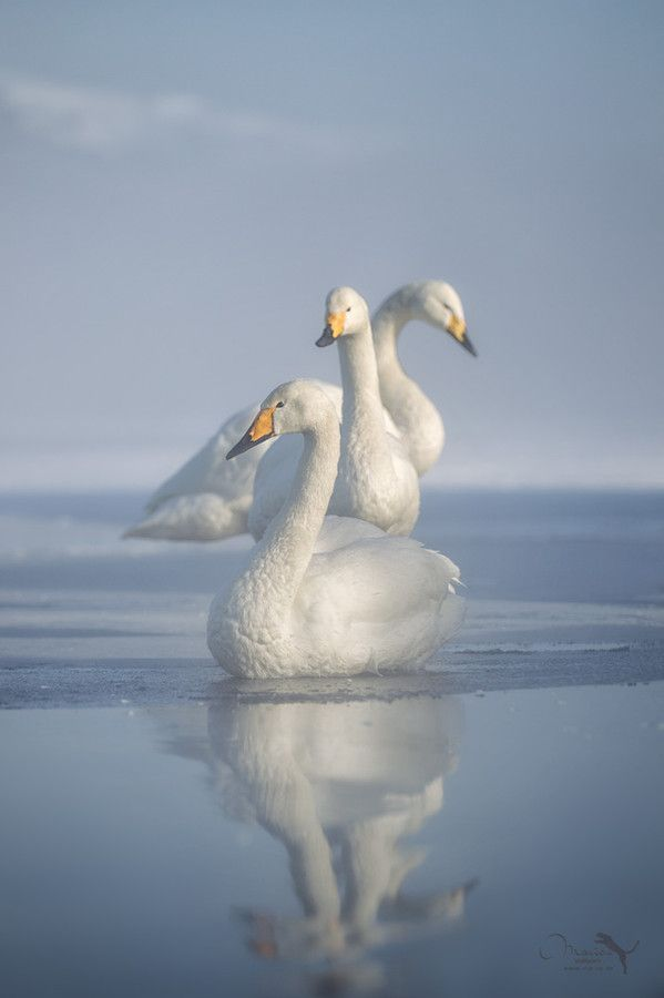 three whooper swan in Japan