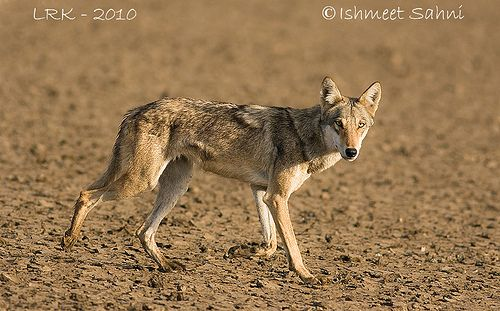 Research Papers On Wolf In Pakistan – 393016