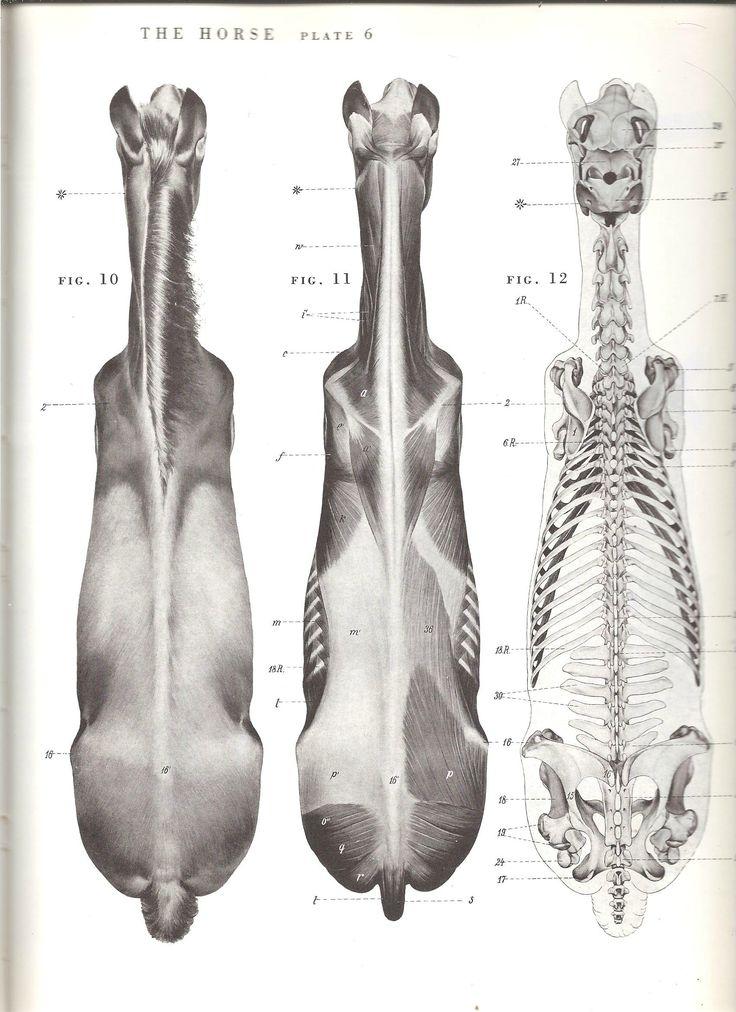 46 best Horse 2D images on Pinterest | Animal anatomy, Horse anatomy ...