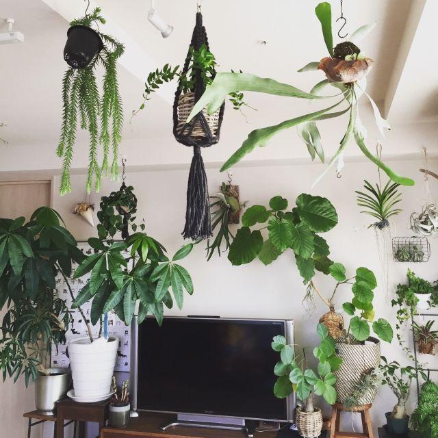 植物/観葉植物/グリーンインテリア/Loungeのインテリア実例 - 2015-08-05 11:51:55 | RoomClip(ルームクリップ)