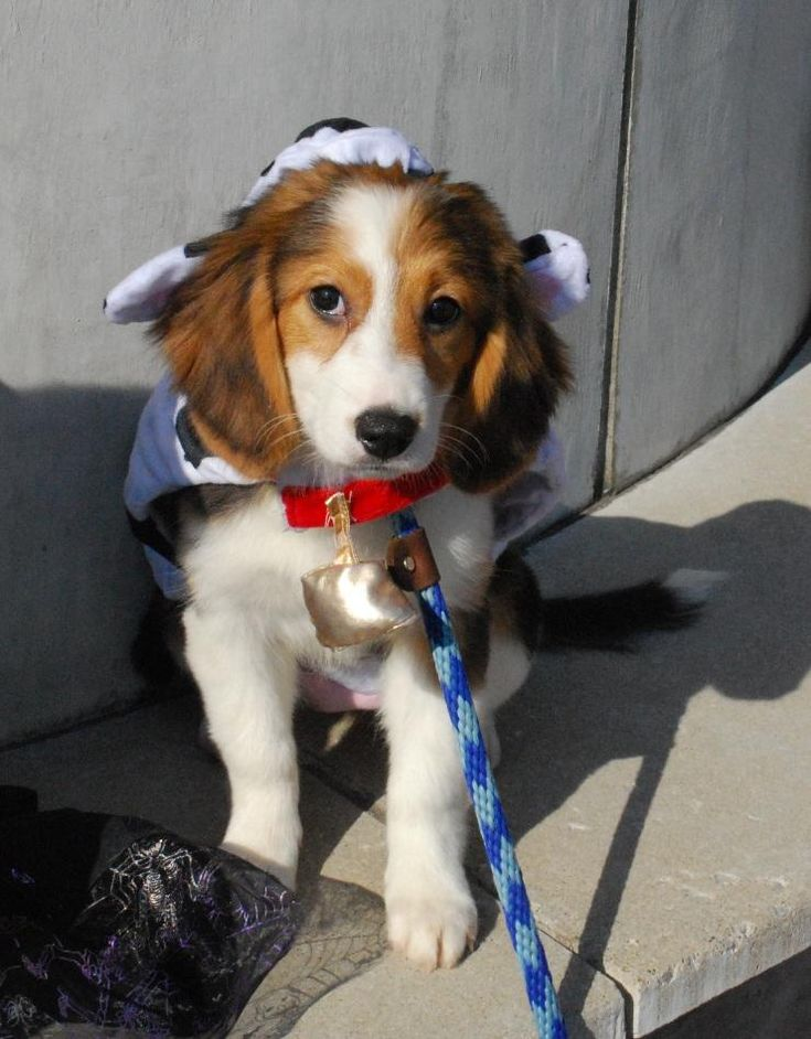 Dog ready for adoption: Collie/Beagle Mix named Melody in Louisville, KY