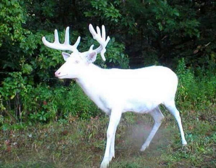 Albino Buck Albino Deer Big Deer Whitetail Deer Pictures