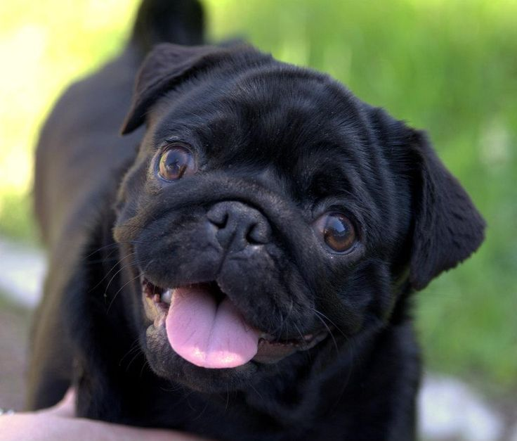 Cute Dog Names For Male Pugs