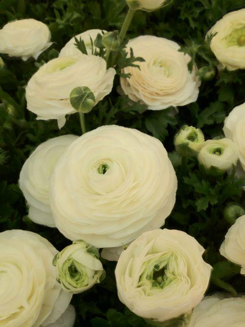 #Ranuculus....beautiful wedding flowers