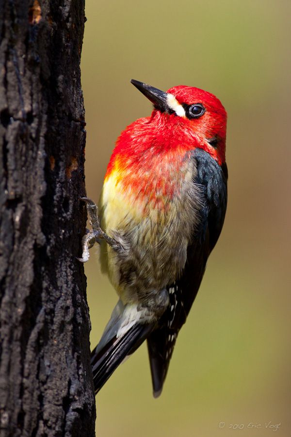 red colored birds of north america - 600×900
