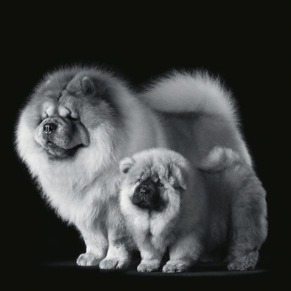 Most Inspiring Chow Chow Chubby Adorable Dog - 91e6020b539ed364c9bc1df40cf25e83--chow-chow-puppies-nature-animals  Image_20452  .jpg