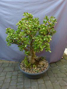 Crassula ovata, riesige Altpflanze 95cm!!!!, Kakteen / Sukkulenten (1008)