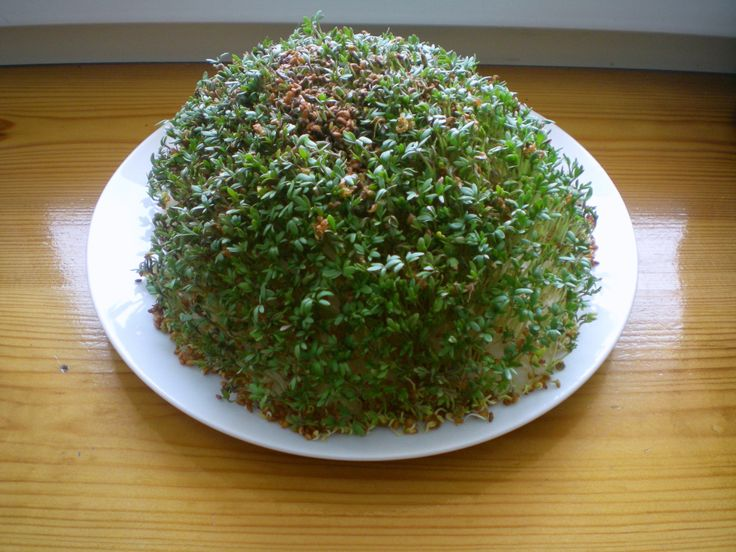 Actually, garden cress, is very easy to grow and a fast-growing herb. Often eaten as sprouts. You can add it to salads, sandwiches etc. The peppery, tangy flavour and aroma will definitely enrich y…