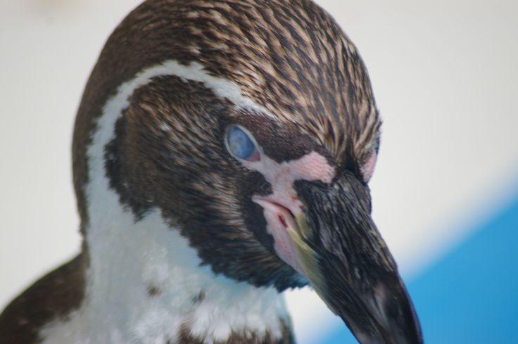 桐生が岡動物園のペンギン http://wp.me/p3kxHi-1oU
