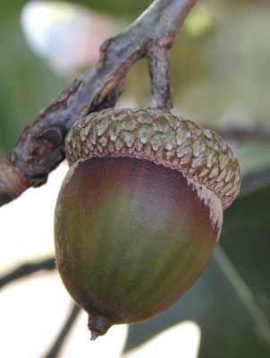 Okplantid Northern Red Oak Quercus Rubra Fruit Detail