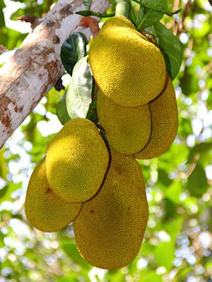Jackfruit Tree growing and general information.