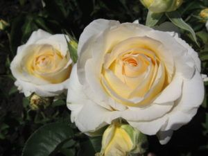 Rose Chopin 1