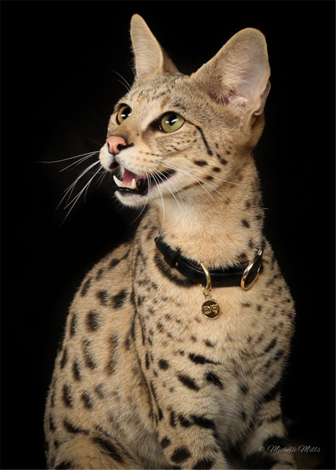 Savannah Cat Breed Information Facts 30 Pictures Savannah Cat Cat Breeds Serval Cats