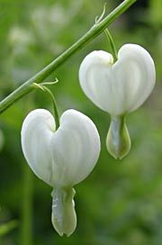 Dicentra spectabilis 'Alba' - Tränendes Herz,50 - 70 cm h,  blüht 5 - 6, halbschattig