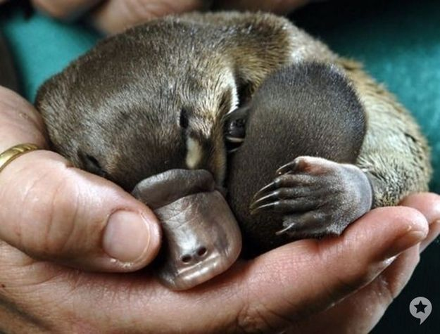 """There's really no animal quite as perplexing as the furry, duck-billed, web-footed, egg-laying platypus. They also happen to be ridiculously adorable as babies."""