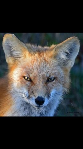 Red Fox, Island Beach State Park, United States