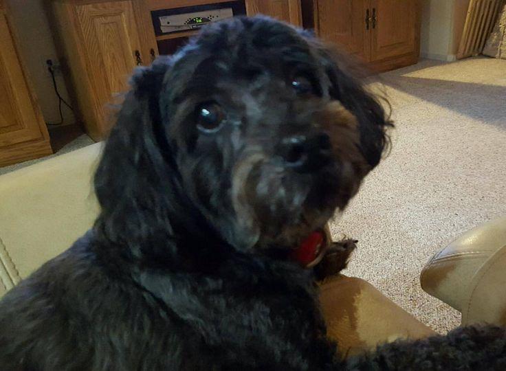 Cockapoo dog for Adoption in Goodyear, AZ. ADN-484460 on PuppyFinder.com Gender: Male. Age: Senior