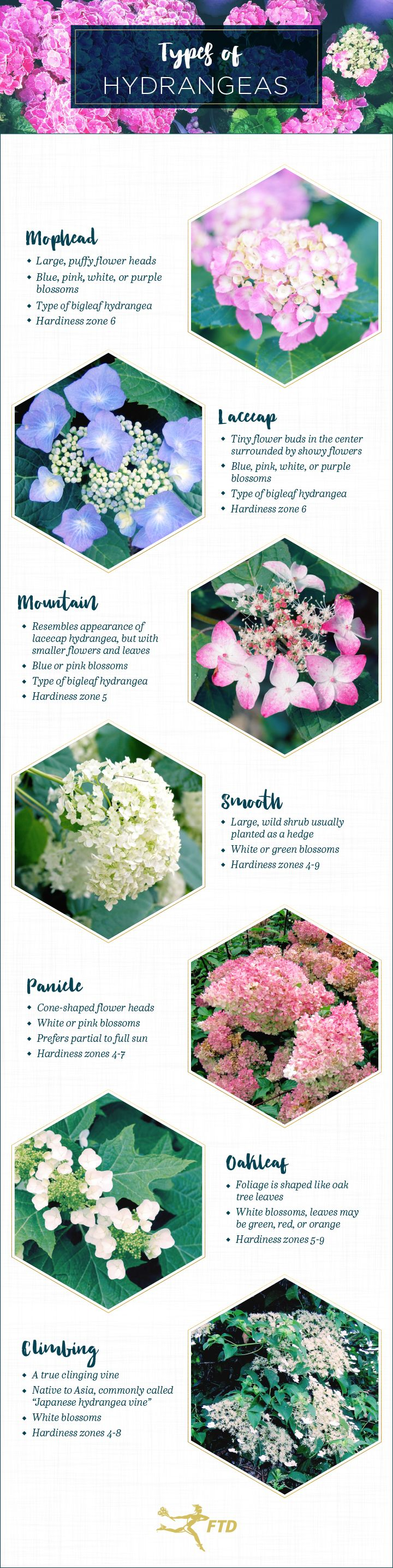 Hydrangeas are a classic flower that are a favorite amongst florists and gardeners. Their large, round flower heads are what distinguish them from other flowers. But did you know that there are five main types of hydrangeas? Although blue and purple hydrangeas are one of the first colors that come to mind, most species are …