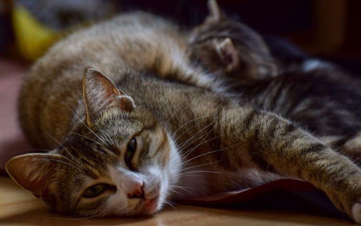 Strategia rozrodcza kotów
