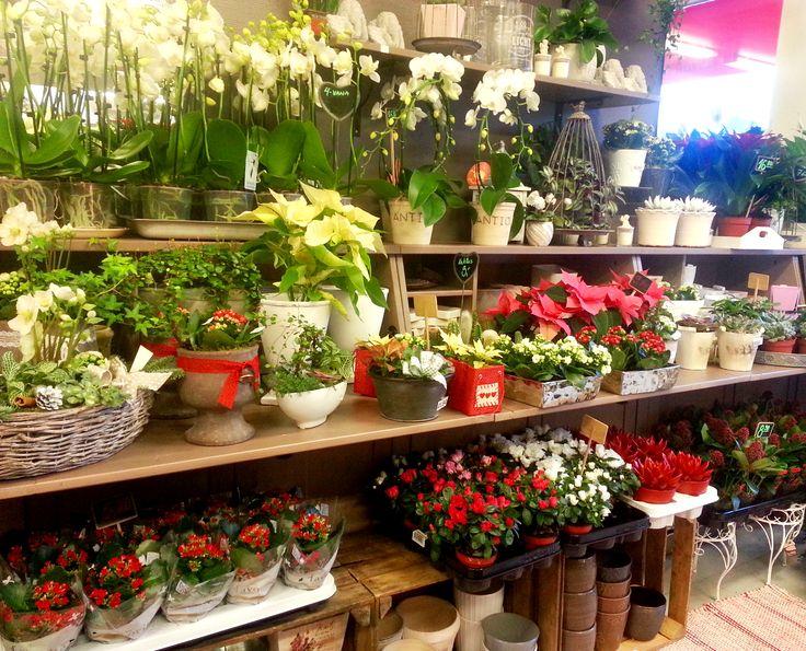 Kukkahuone Meritornin joulukukkia