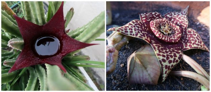 Stapelia Leendertziae (left) and Stapelia Verigata (also known as Obelia Verigata)