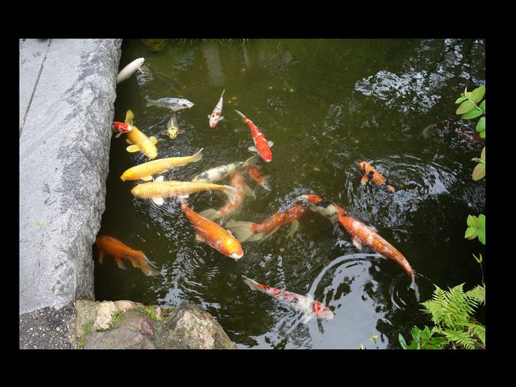 161 best images about san francisco japanese tea garden for Garden state koi
