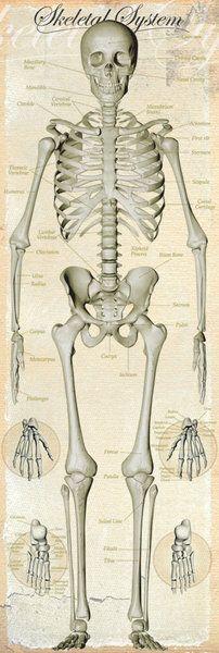 anatomia człowieka układ kostny - Szukaj w Google