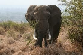 Read this interesting elephant science article for kids to discover fun elephant facts. How old do elephants get? Where do elephants live? How do elephants interact with each other? Do elephants live in herds?   http://www.easyscienceforkids.com/all-about-elephants/