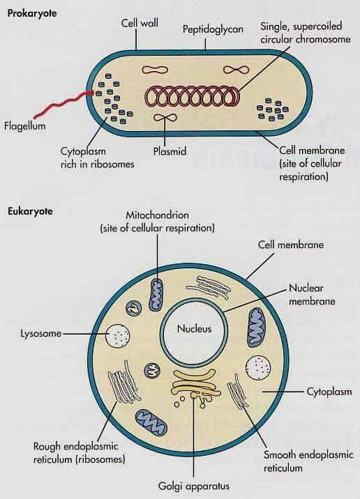 Procaryote and eukaryote comparision